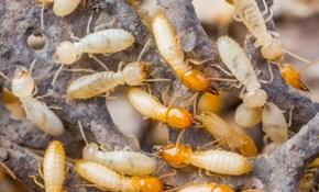 $950 for a Preventative Termidor Termite Treatment Package