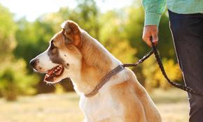 $320 for 1 Month of Dog Walking (5 Walks per Week)