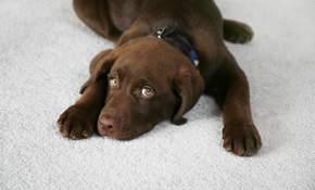 $199 for Organic Carpet Cleaning for 5 Rooms