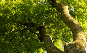 $99 for a Professional Tree Health and Risk Assessment