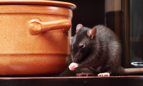 $110 for a One Time Rodent Abatement Package