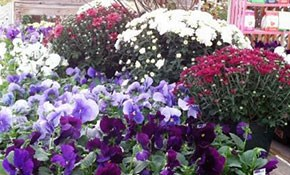$29.98 for One Flat of Flowering Pansies (32 plants) and Three 8-inch Pots of Blooming Mums