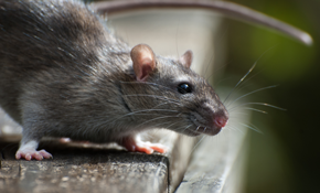$185 for a 1 Time Rodent Exclusion Package