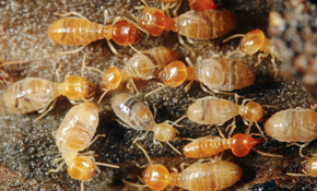 $50 for $100 Toward Termite Services