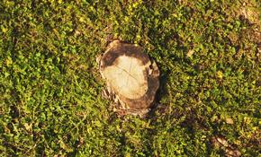 $150 Stump Removal Service
