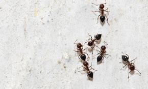 $269 Sugar Ant Treatment Package