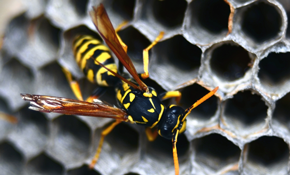 $184.50 One-Time Beehive or Wasp Nest Removal
