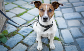 $94 for Five 20-Minute Dog Walks
