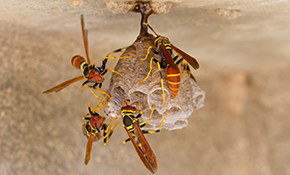$77 for Wasp Nest Removal and Treatment