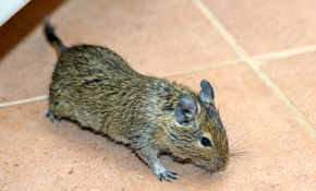 $159 for Rodent Abatement Package